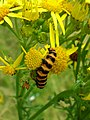 Water ragwort and caterpiller in Yorkshire.jpg