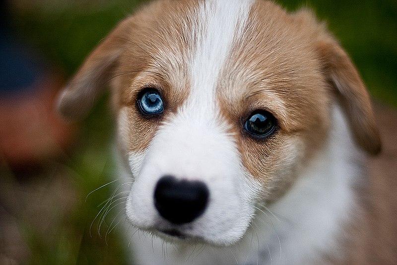 husky chiot a adopter