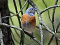 Western Bluebird RWD.jpg