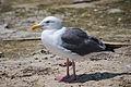 Western Gull, Malibu.jpg