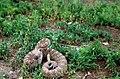 Western diamondback rattlesnake crotelus atrox.jpg