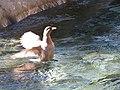 Whio wings MTL.jpg