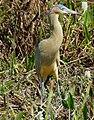 Whistling Heron (Syrigma sibilatrix) - 48139150316.jpg