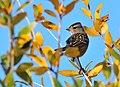 White-Crowned Sparrow on Seedskadee National Wildlife Refuge (21858688672).jpg
