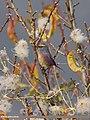 White-browed Tit Warbler (Leptopoecile sophiae) (15894350432).jpg