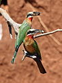 White-fronted Bee-eater, Merops bullockoides, at Ezemvelo Nature Reserve, near Bronkhorstspruit, South Africa (22598828252).jpg
