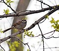 White-throated Sparrow (26745227946).jpg