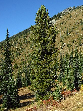 Pinus albicaulis - The whitebark pine, Pinus albicaulis, at Mount Rainier National Park