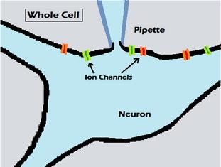 Biological Neuron Model Wikipedia