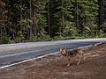 Wild Coyote.jpg