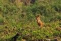 Wild Dog (8530595580).jpg