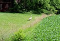 Wild Turkey in a Farm Yard, Superior Township, Michigan - panoramio.jpg