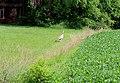Wild Turkey in a Farm Yard, Superior Township, Michigan - panoramio.jpg
