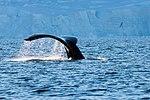 Wilhelmina Bay Antarctica Humpback Whale 14 (46421720795).jpg