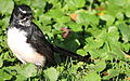 Willie (or willy) wagtail, Rhipidura leucophrys, Royal Botanic Gardens, Melbourne, Australia (25628745041).jpg