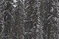 Winter Colorado forest (Unsplash).jpg