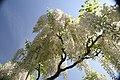 Wisteria floribunda Alba 3zz.jpg