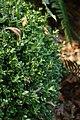 Wojsławice, arboretum, Buxus microphylla III.jpg