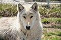 Wolf Park Indiana (8613801158).jpg