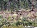 Wolf Survey, Denali, 2003 (19eb69fb-5018-4eee-a9a7-8efd078298e9).jpg