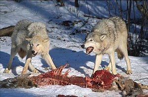 Dominance (ethology) - One wolf (right) asserting dominance over another (left) with a threat display – the teeth are bared, the ears are flattened against the body and the hackles are raised, whereas the submissive wolf lowers its head and turns away to appease the dominant individual.