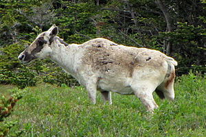 Boreal woodland caribou - Female in spring, Newfoundland