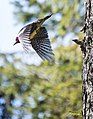 Woodpecker flight 393 (34255962690).jpg