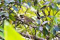 Worm-eating warbler (24890265482).jpg