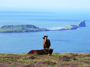 Gower Peninsula - Horses grazing on the heather with the Worm's Head in the background.