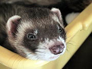 A sable ferret, the most common color variation