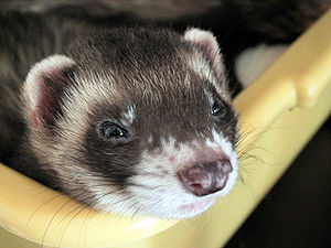 Typical ferret coloration, known as a sable or...