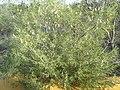 Xylomelum angustifolium at kalbarri NP.jpg