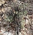 Xylorhiza tortifolia 4.jpg