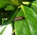 Xylota segnis. Syrphidae. - Flickr - gailhampshire (1).jpg