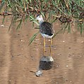 YELLOWLEGS, GREATER (9-21-10) west end, pat lake state park, scc, az -02 (5013167012).jpg