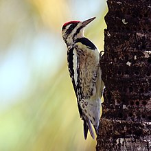 Yellow-bellied sapsucker (Sphyrapicus varius) female.JPG