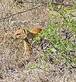 Yellow Mongoose (Cynictis penicillata) (32586218905).jpg
