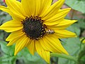 Yellow ladybirds .jpg