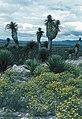 Yucca filifera fh 045 MEX B.jpg