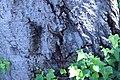 ZIMG 2673-Notholithocarpus densiflorus.jpg