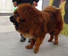 Dogue Du Tibet Wikipedia
