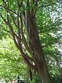 Zelkova carpinifolia 01 by Line1.JPG