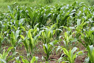Zinc deficiency (plant disorder) - Maize plants with severe zinc deficiency in the foreground, with healthier plants (planted at the same time) in the background.