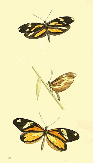 Zoological Illustrations Volume II Plate 91.jpg