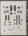 Zoologie. Annélides. Euphrosynes, Pléiones, Aristénies (NYPL b14212718-1268546).tiff