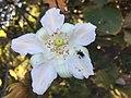 """""""abelha-cachorro"""" - Trigona spinipes - em flor de """"açoita-cavalo-graúdo"""" Luehea grandiflora Mart. & Zucc. (Malvaceae) 01.jpg"""