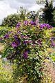 'Clematis viticella' Étoile Violette at Goodnestone Park Kent England 1.jpg