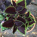 'Giant Exhibition Magma' coleus IMG 0882.jpg
