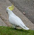 (1)Sulphur crested cockatoo 033.jpg
