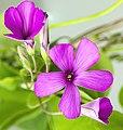 (MHNT) Oxalis articulata - Flowers.jpg